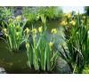 Iris pseudoacorus / Блатен ирис
