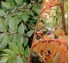 Koelreuteria paniculata / Китайски мехурник