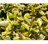 Ligustrum ovalifolium Aureum / Лигуструм жълто-зелен