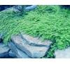 Lysimachia nummularia / Лизимахия