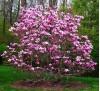 Magnolia liliiflora Nigra / Магнолия лилифлора Нигра