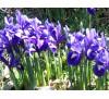 Mini iris / Лилав мини ирис