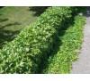 Parthenocissus tricuspidata / Дива лоза
