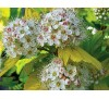 Physocarpus opulifolius aureus / Физокарпус жълт