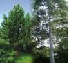 Pinus nigra / Черен бор