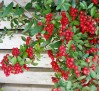 Pyracantha Red Column / Пираканта червена