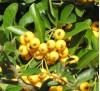 Pyracantha Soleil d'Or / Пираканта жълта