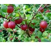 Ribes uva crispa / Цариградско грозде, Бодливо грозде