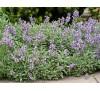 Salvia officinalis / Салвия, Градински чай