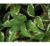 Sambucus nigra Variegata / Черен бъз пъстролистен