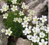 Saxifraga White Pixie / Саксифрага бяла