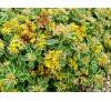 Sedum kamtschaticum variegatum / Седум Камчатски пъстролистен