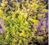 Sedum reflexum Aureum / Седум рефлексум жълтолистен