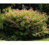 Spiraea Japonica Anthony waterer / Спирея японика