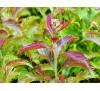 Spiraea japonica Crispa / Спирея японика Криспа