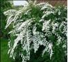 Spiraea nipponica Snow mound