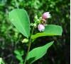 Symphoricarpos albus / Симфорикарпус, Бял маргарит