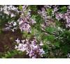 Syringa persica Laciniata / Персийски люляк