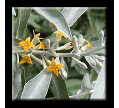 Elaeagnus angustifolia  / Миризливата върба