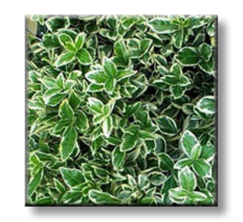 "Euonymus fortunei ""EMERALD GAIETY"" / Радиканс бяло-зелен"