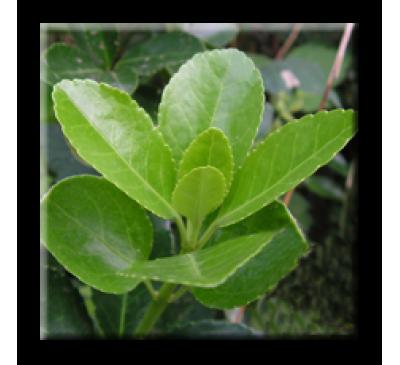 Euonymus japonicus / Японски чашкодрян