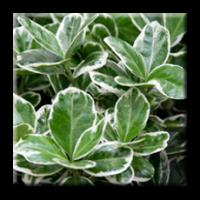 Euonymus japonicus Kathy / Японски чашкодрян сребрист