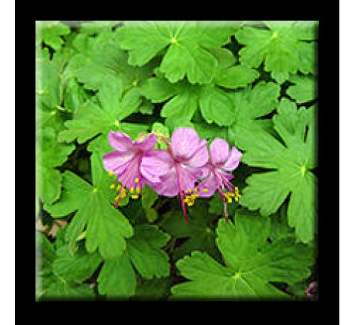 Geranium macrorrhizum / Здравец