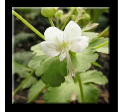 Geranium macrorrhizum White / Бял здравец