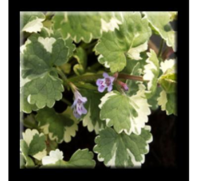 Glechoma hederacea Variegata / Глехома пъстролистна