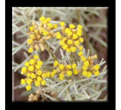 Helichrysum italicum / Къри