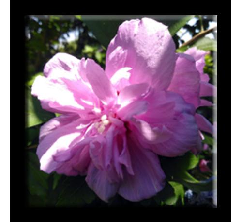 Hibiscus / Хибискус градински синьо лилав, кичест
