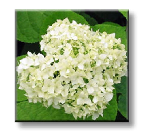 Hydrangea / Хортензия - бяла