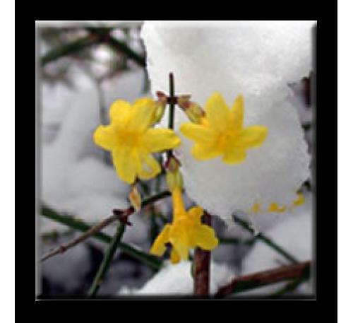 Jasminum nudiflorum / Зимен жасмин
