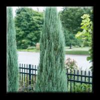 Juniperus scopulorum Blue Arrow / Юниперус Синя Стрела