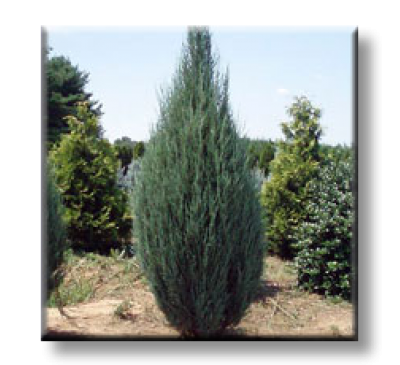 Juniperus scopulorum Skyrocket