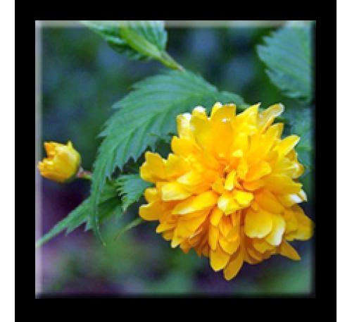 Kerria japonica / Керия японика