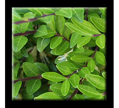 Lonicera pileata / Лоницера Зелена
