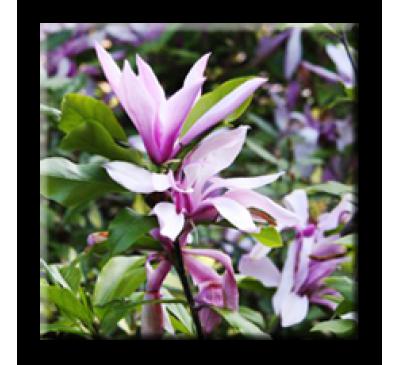 Magnolia Betty / Магнолия Бети