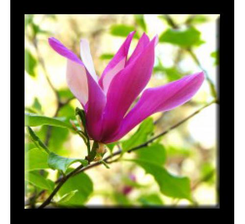 Magnolia Susan / Магнолия Сюзън