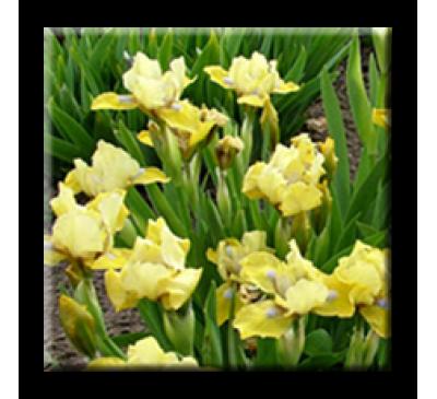 Mini iris / Жълт мини ирис