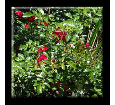 Mini rose / Мини роза - червена