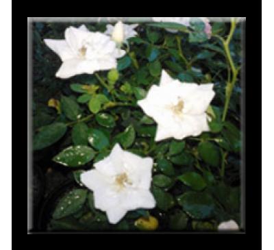Mini rose / Мини роза - бяла