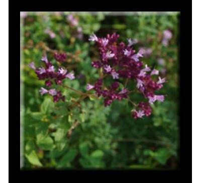 Origanum vulgare / Риган