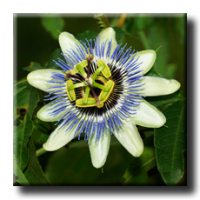 Passiflora caerulea / Пасифлора синя