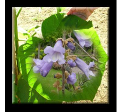 Paulownia tomentosa / Пауловния Томентоса, Изумруденото дърво