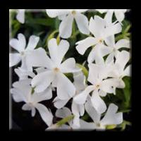 Phlox subulata White / Флокс стелещ бял