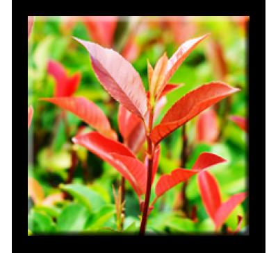 Photinia Red Robin / Фотиния Червен робин