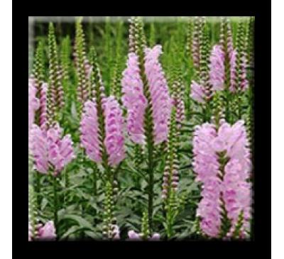 Physostegia virginiana Vivid / Физостегия розова