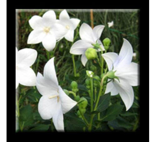 Platycodon grandiflorus Alba / Платикодон бял