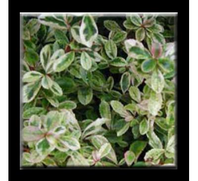 Pyracantha variegata / Пираканта пъстролистна